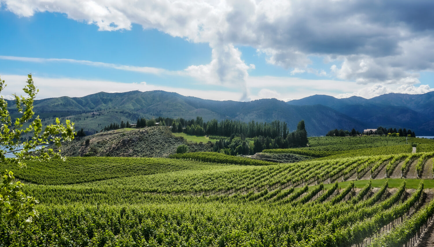 Bright green rows of grape vines with blue mountains in the distance and blue sky and clouds above.