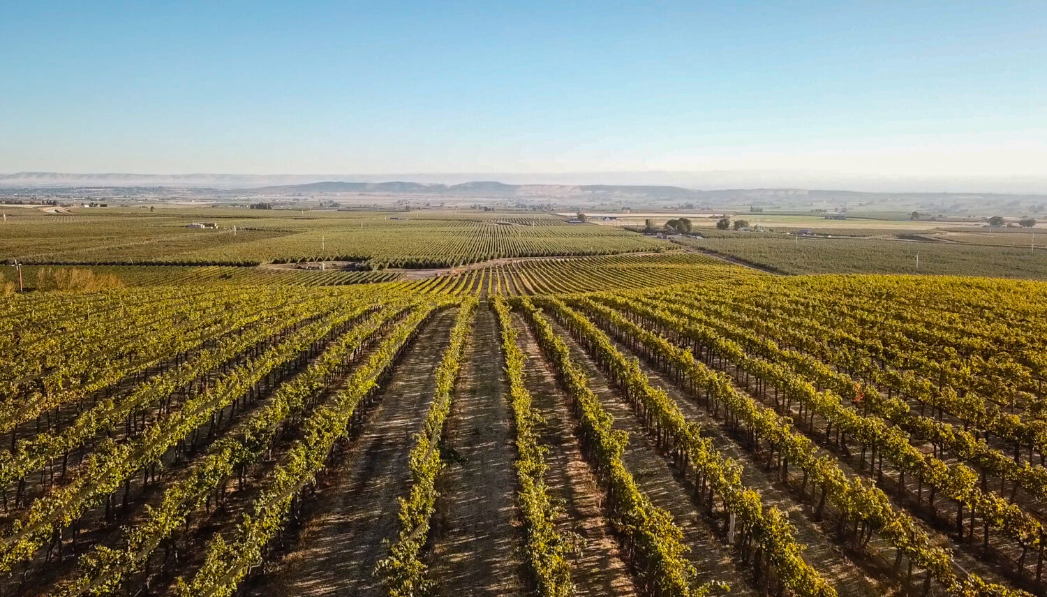 Rows of grape vines leading to the horizon with hazy hills and a blue sky in the distance.