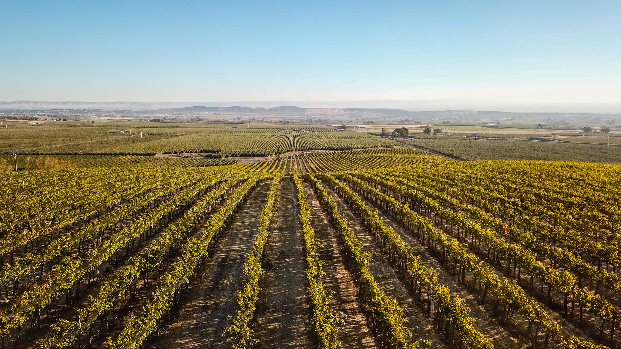 Rows of green vines stetch toward the hills in the horizon. The sky is hazy white-grey to blue.