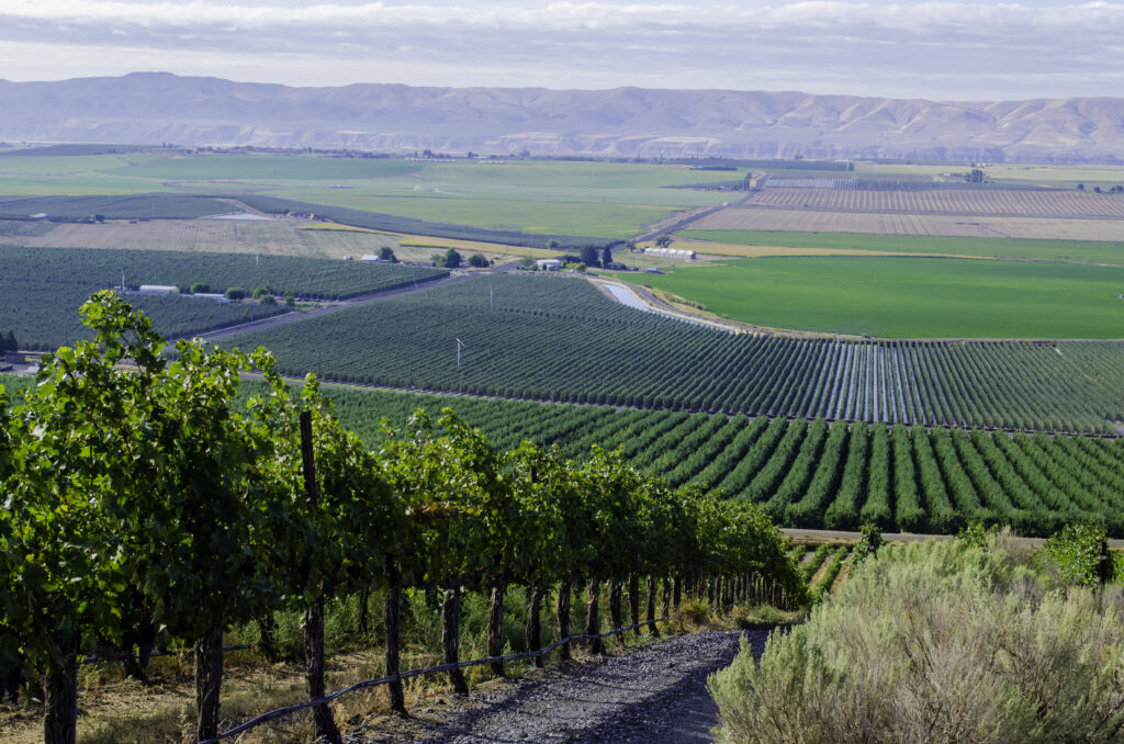A row of vines growing down a hill next to a gravel road. Rows of vines are in the distance, and blue hills are in the distance.