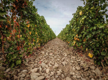 The space between rows of grape vines is rocky and bare, with green leaves climbing up on either side.