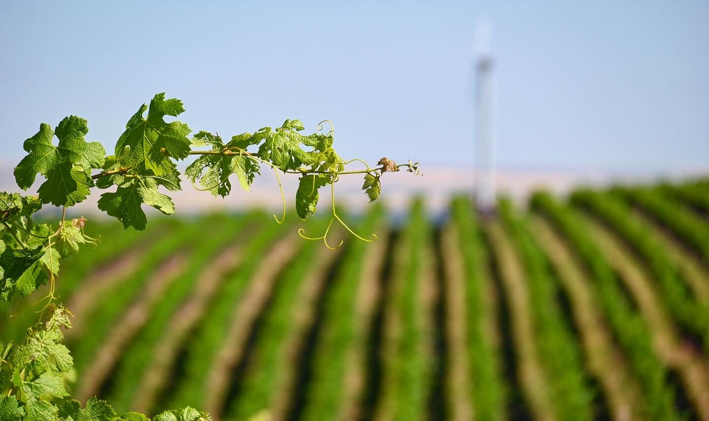 A close-up of a shoot on a grape vine in the foreground, with rows of green vines out of focus in hte background. The sky above is light blue.
