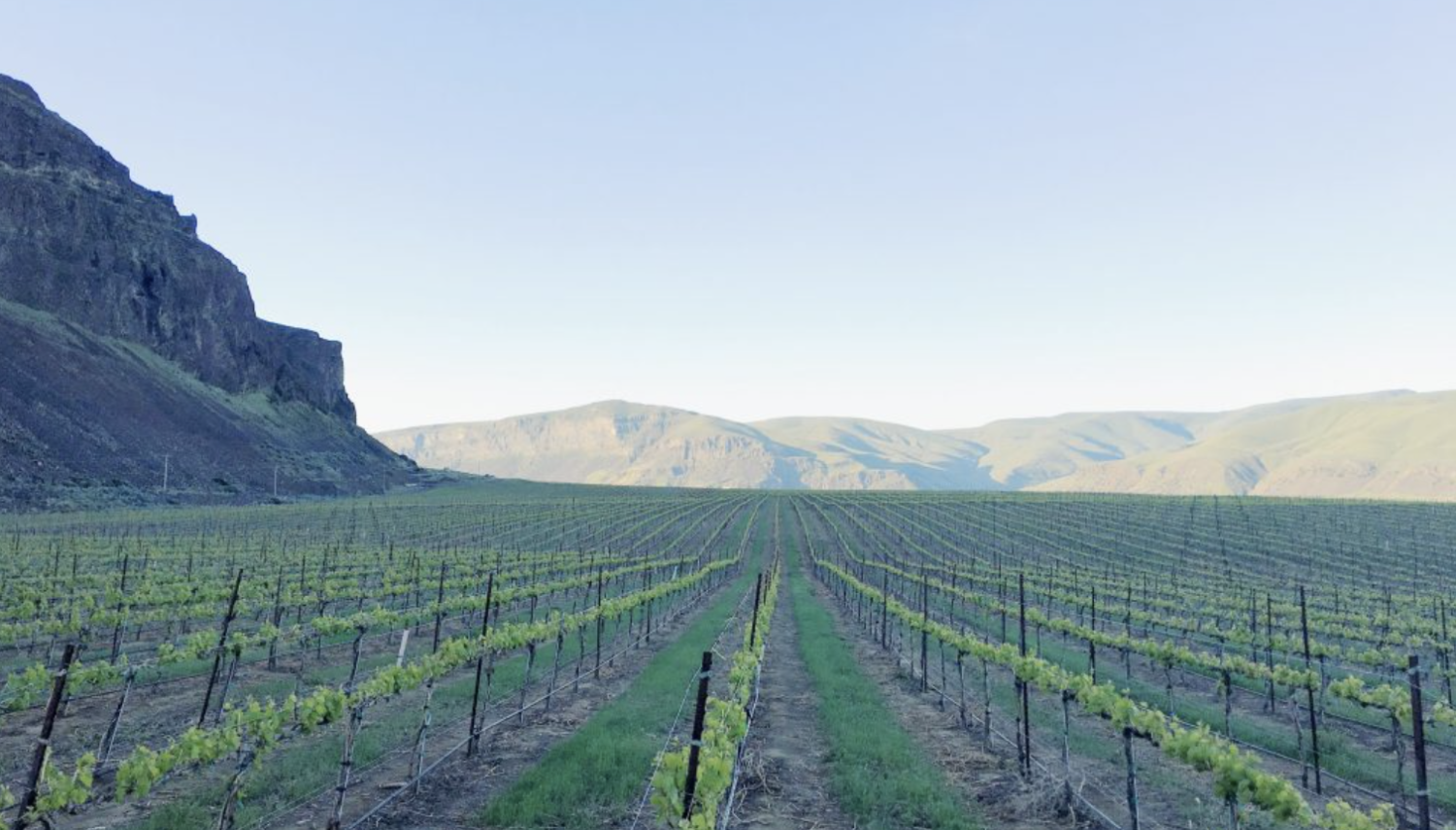 Immature green vines grow in neat rows with dark posts, with a soft-edged mountain in the distance and a steep cliff on the left. The sky above is dull blue.
