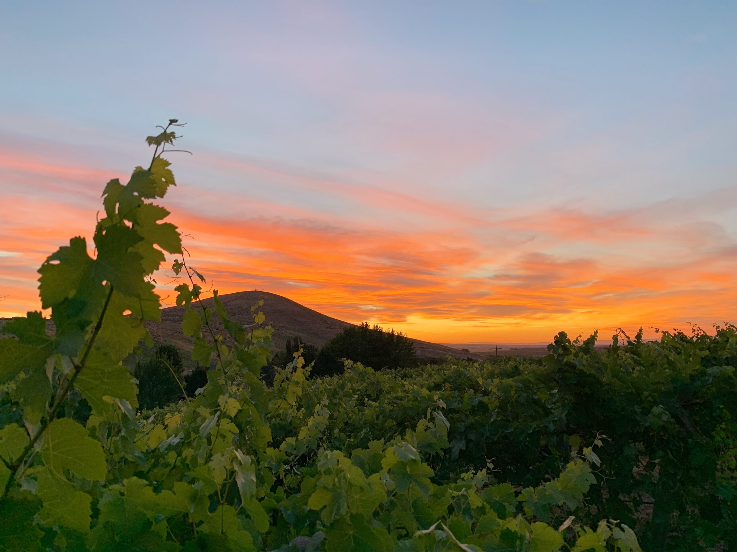 Sunset in orange and gold over a rounded tall hill, with green grape leaves in the foreground.
