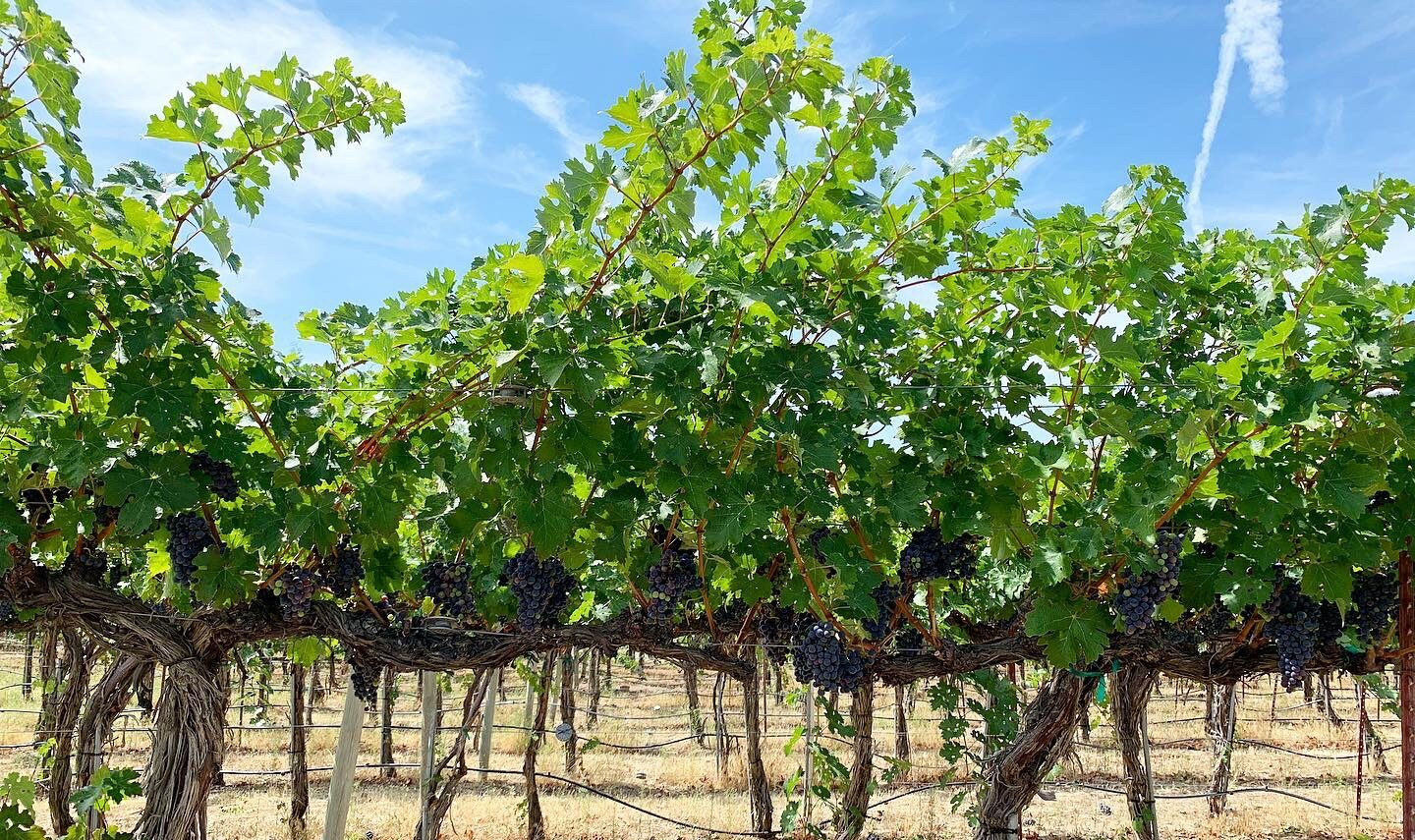 Sunshine hits green leaves on grape vines with ripe purple fruit hanging below. The ground below is tan and the sky above is bright blue.
