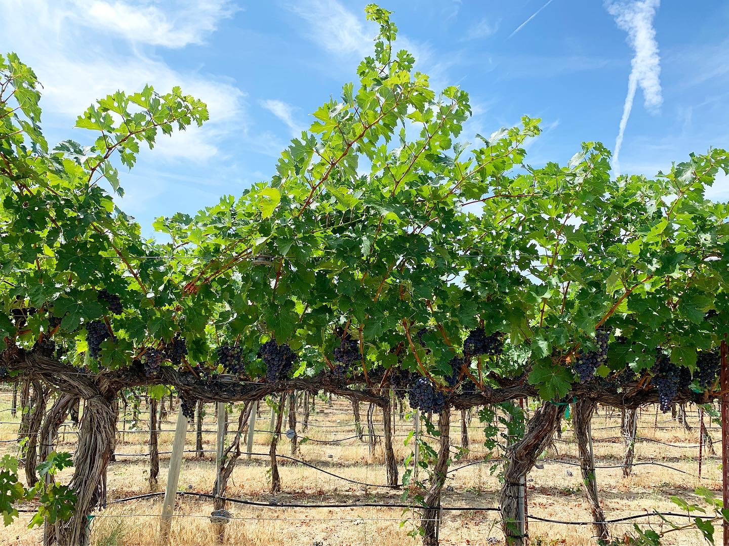 Bright green leaves on grape vines with purple grape clusters hanging below. More rows of vines are visible beyond and the sky above is blue with wisps of white clouds.
