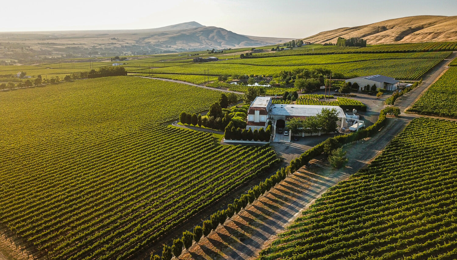 Evening light slants through grape vines in a large vineyard, with a set of buildings to the right and a pointed hill on the horizon.