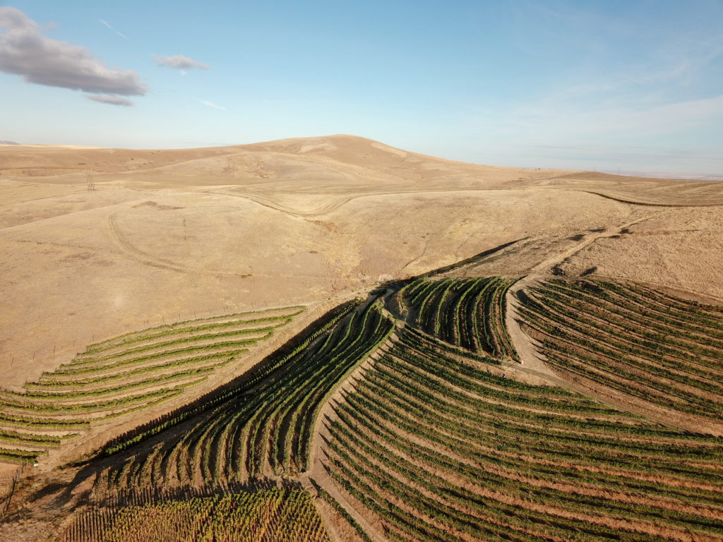 Curving rows of grape vines in alternating directions on a tab hillside. A light brown hill rises above the vineyard and a light blue-white sky is above that.