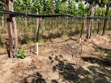A row of green grape vines and ground in front of it. Black hoses run along the vine.