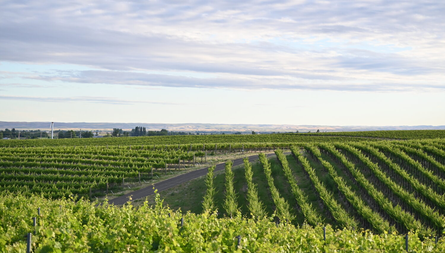 Green rows of grape vines in alternating directions with a dirt road cutting through the vines. The sky is light blue with an even layer of light clouds.