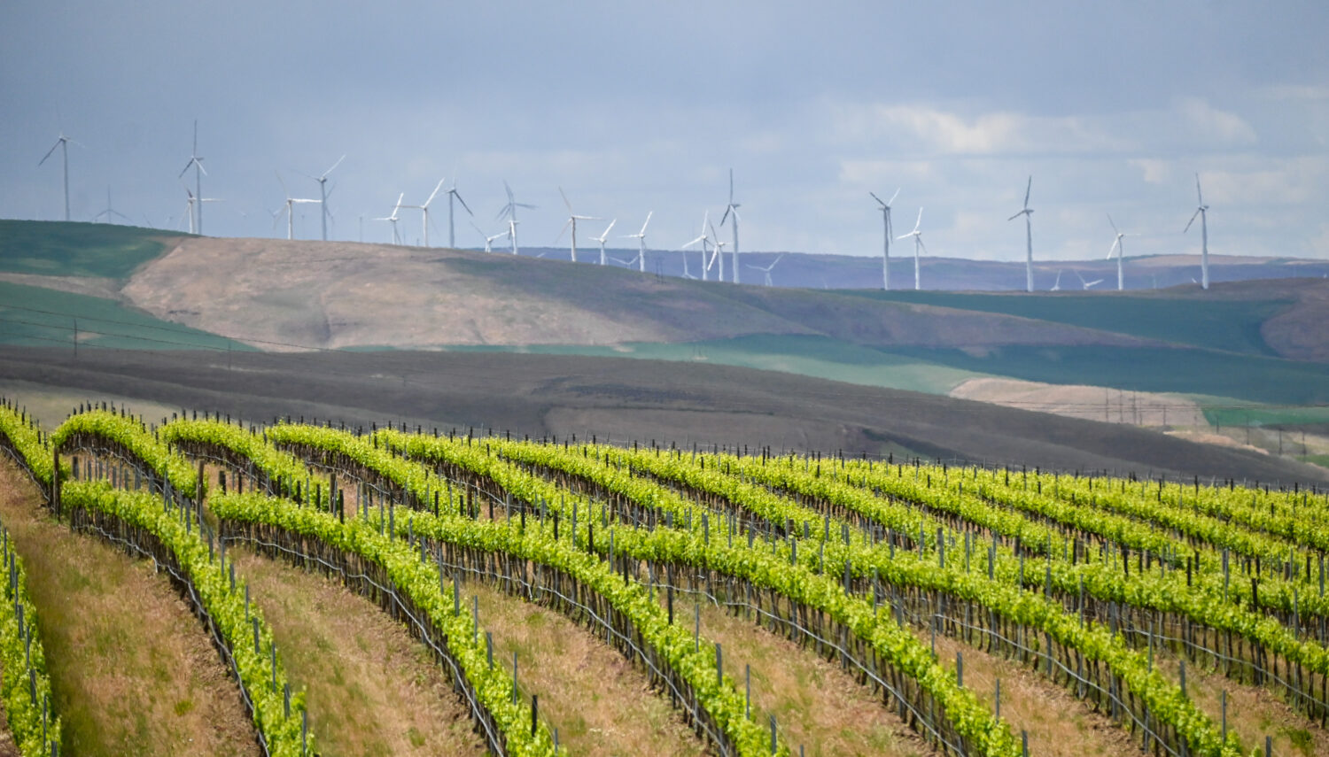 Bright green rows of grape vines spaced far apart rise and fall with the rolling hills. Green and tan hills are behind the vines, and wind turbines in the distance.
