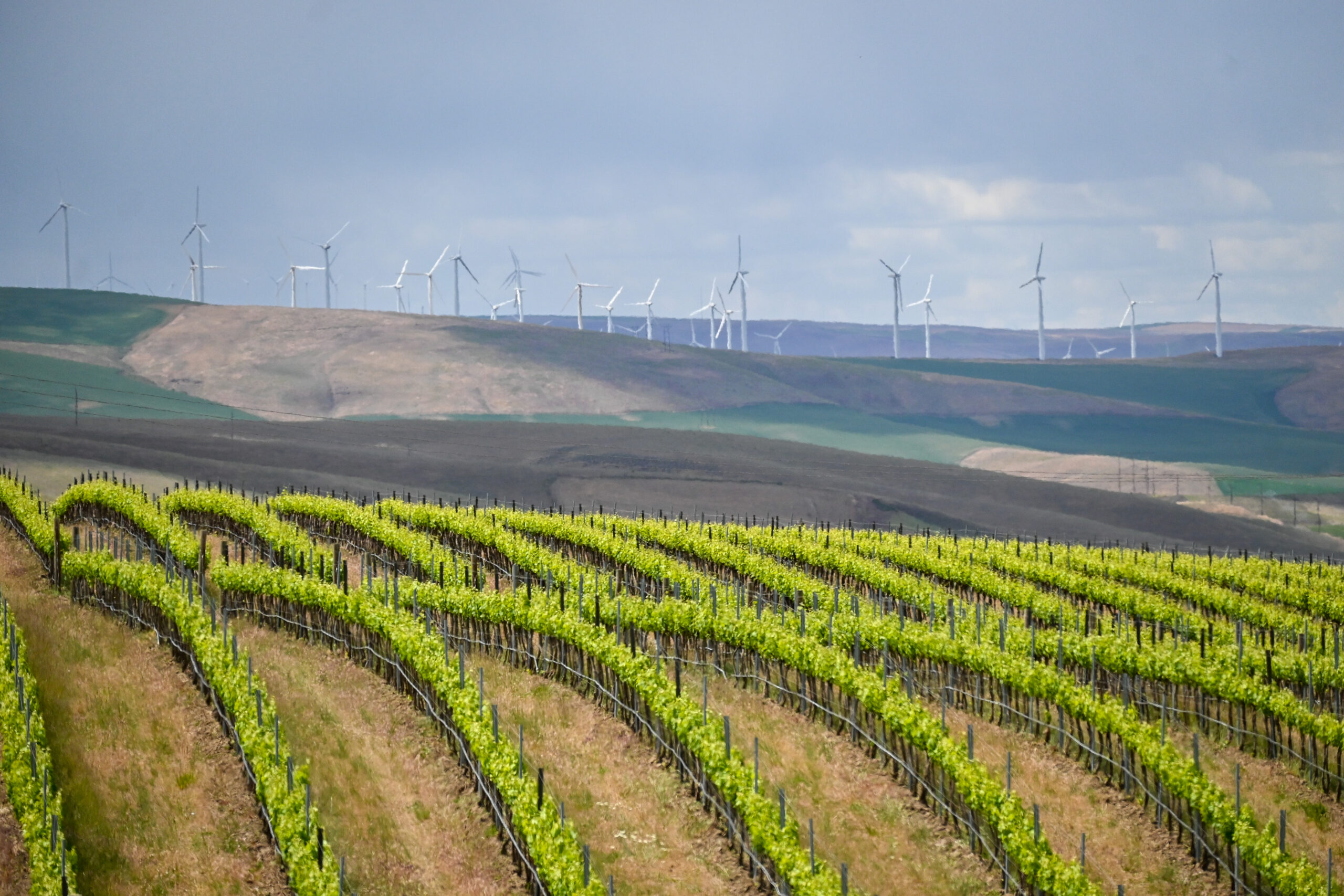 Bright green rows of grape vines curve on rolling hills. Brown and green hills and wind turbines are in the distance.
