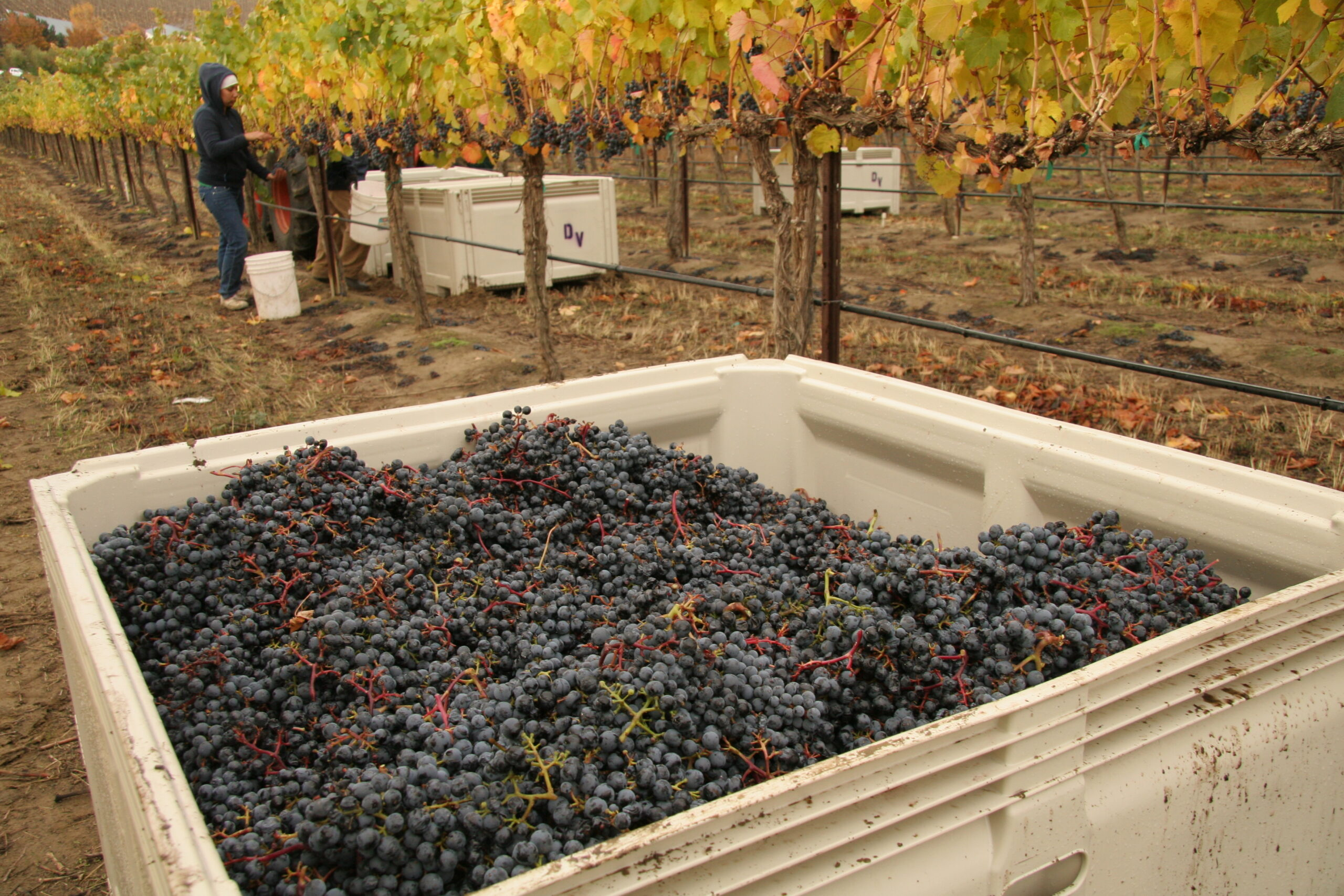 A white bin of dark indigo wine grapes, with a woman picking grapes behind it and several more bins between rows of vines.