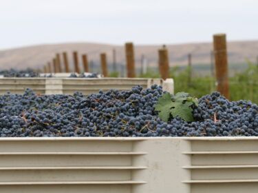 A full bin of dark blue-purple wine grapes, in front of more bins and next to posts at the end of rows of vines.