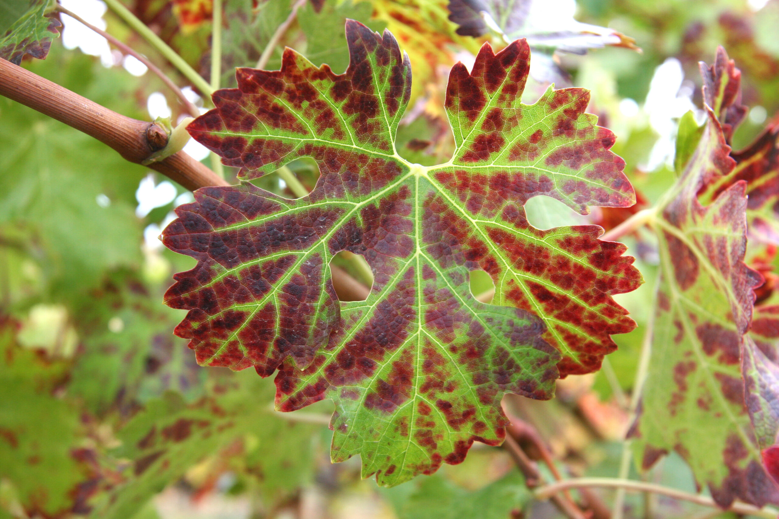A grape leaf with blotchy red discoloration in front of other leaves with the same coloration.