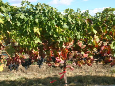 A row of grape vines with fruit hanging below.