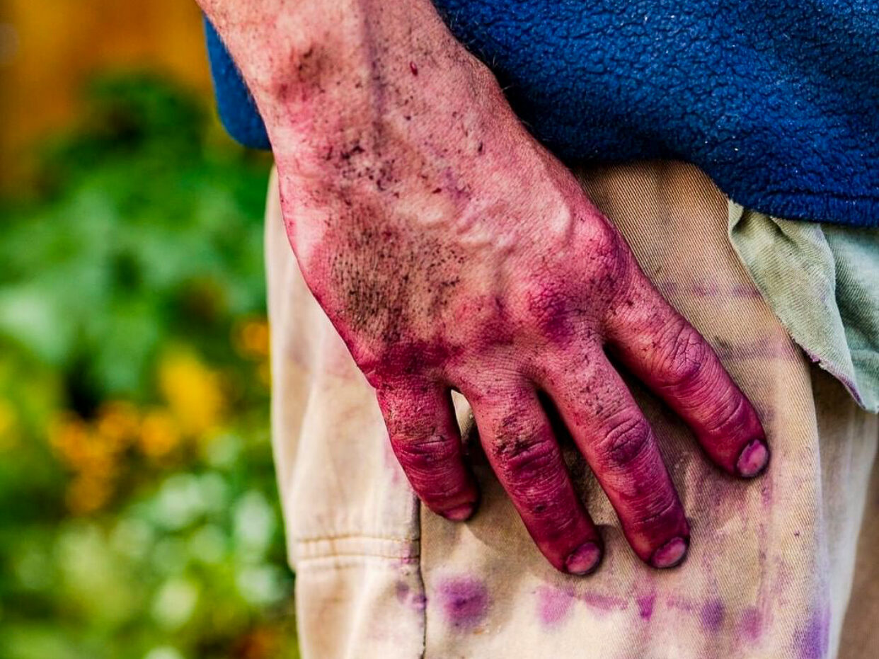 Close-up of a hand stained purple resting at a hip pocket on khaki pants under a blue fleece jacket. Green leaves are out of focus in the background.