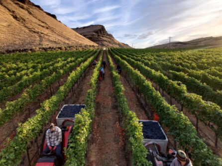 Two people drive tractors in between rows of vines. The tractors pull bins of ripe purple wine grapes, and one of the people looks behind them at their bin. A large tan hill is behind the vines to the left, and a blue sky with wispy clouds is above.