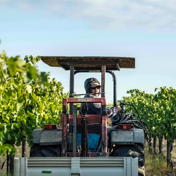 A woman looks back while driving a tractor between rows of green vines.