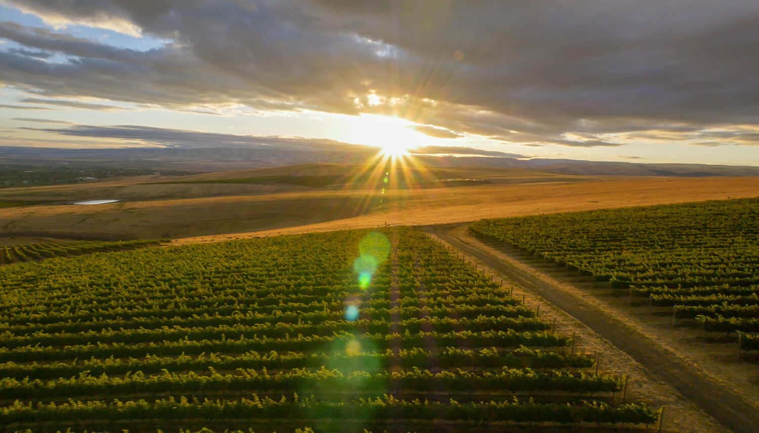 Green vines in horizontal rows at sunset with a dirt road on the right. A bright sun is on the horizon and grey clouds are above.