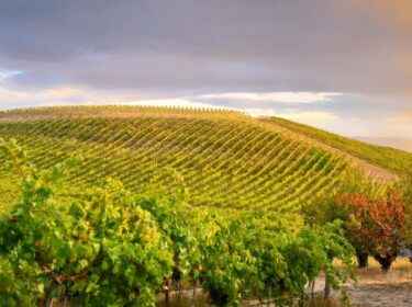 A sun-lit hillside of rows of vines with trees in the foreground and a grew sky behind.