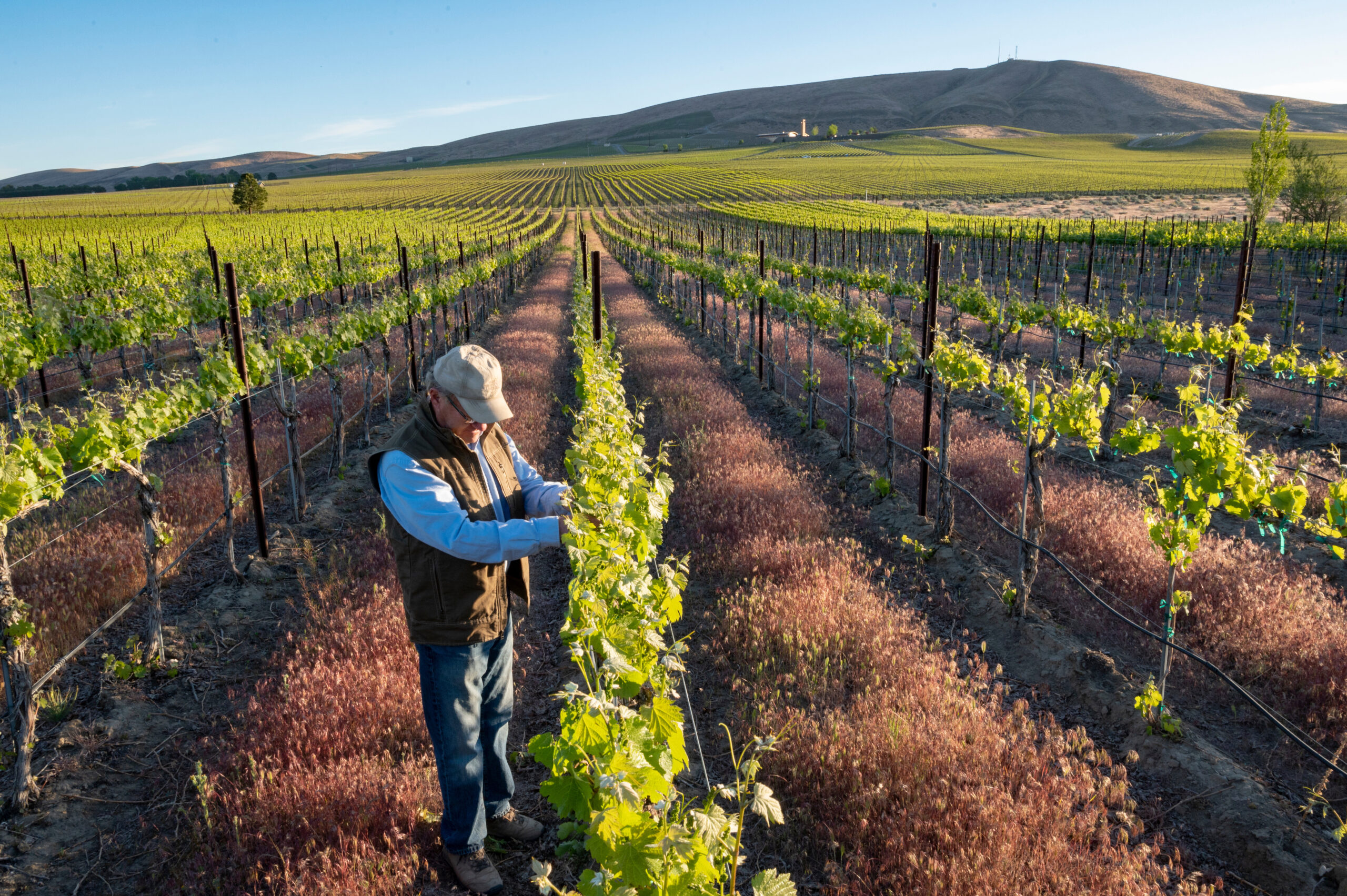 A man in a tab ballcap and brown vest inspects a row of grape vines. The rows stretch toward a rolling hill in the distance under a blue sky.