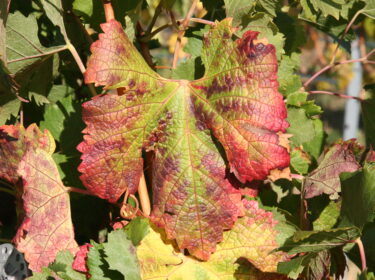 A grape leaf with red coloration at the edges, in front of other grape leaves.