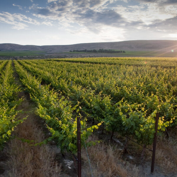 Rows of green grape vines in evening light stretch toward blue rolling hills in the distance. The sky above is blue with white and grey clouds.