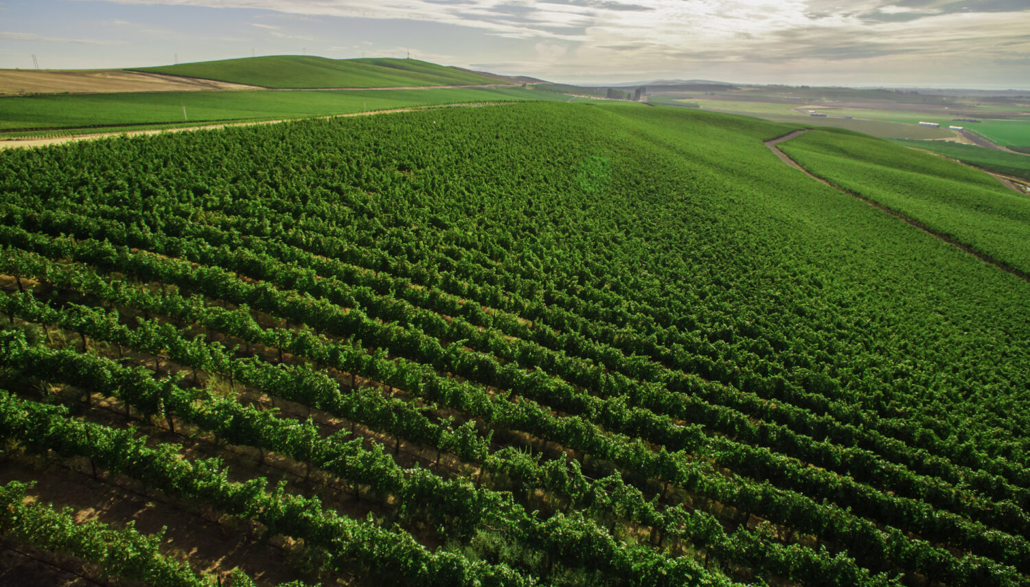 Aerial view of bright green vines in rows stretching toward the horizon under a blue sky with bright white clouds.