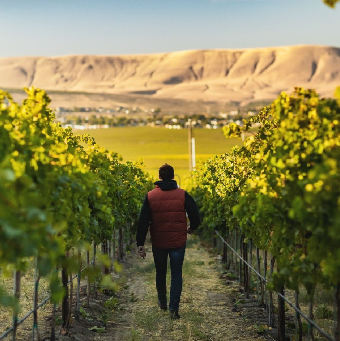 A person in a red vest walks away from the camera and between two rows of grape vines. Light hits the tops of the vines and the tan, gullied hill in the distance.