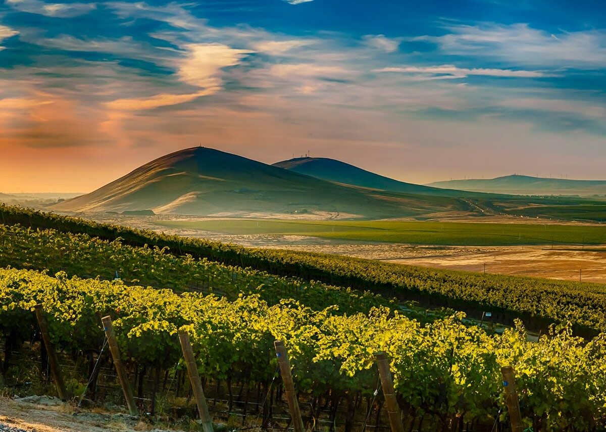 Green leafy grape vines in front of two rounded mountains under a sunset sky colored peach and dark blue.