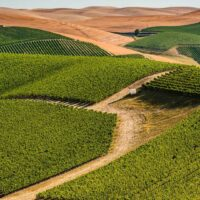 Bright green swatches of grape vines on a tan landscape. Tan rolling hills are in the background.