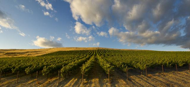 Rows of grape vines spread away from the viewer toward a golden field on the horizon, with blue sky and grey-white clouds above.