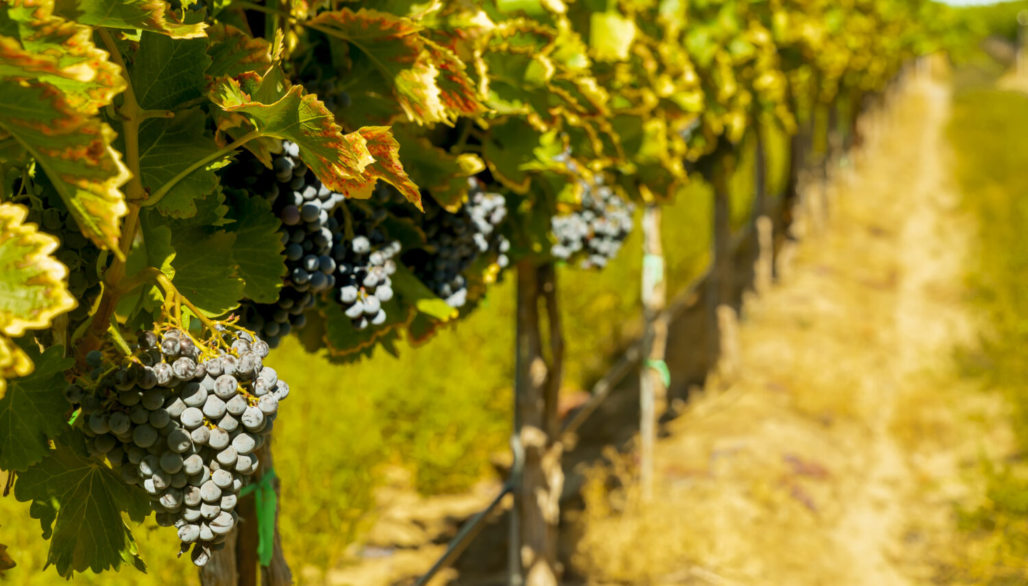 Bright sunlight hits dusty purple wine grapes hanging on a leafy green vine.