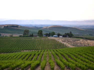 green vines in a row stretch toward trees in distance with a blue-white clear sky
