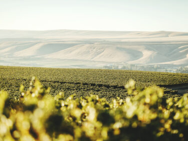 Green leaves of grape vines out of focus in the foreground, with rows of vines beyond them. Soft rolling hills are in the distance under a hazy sky.