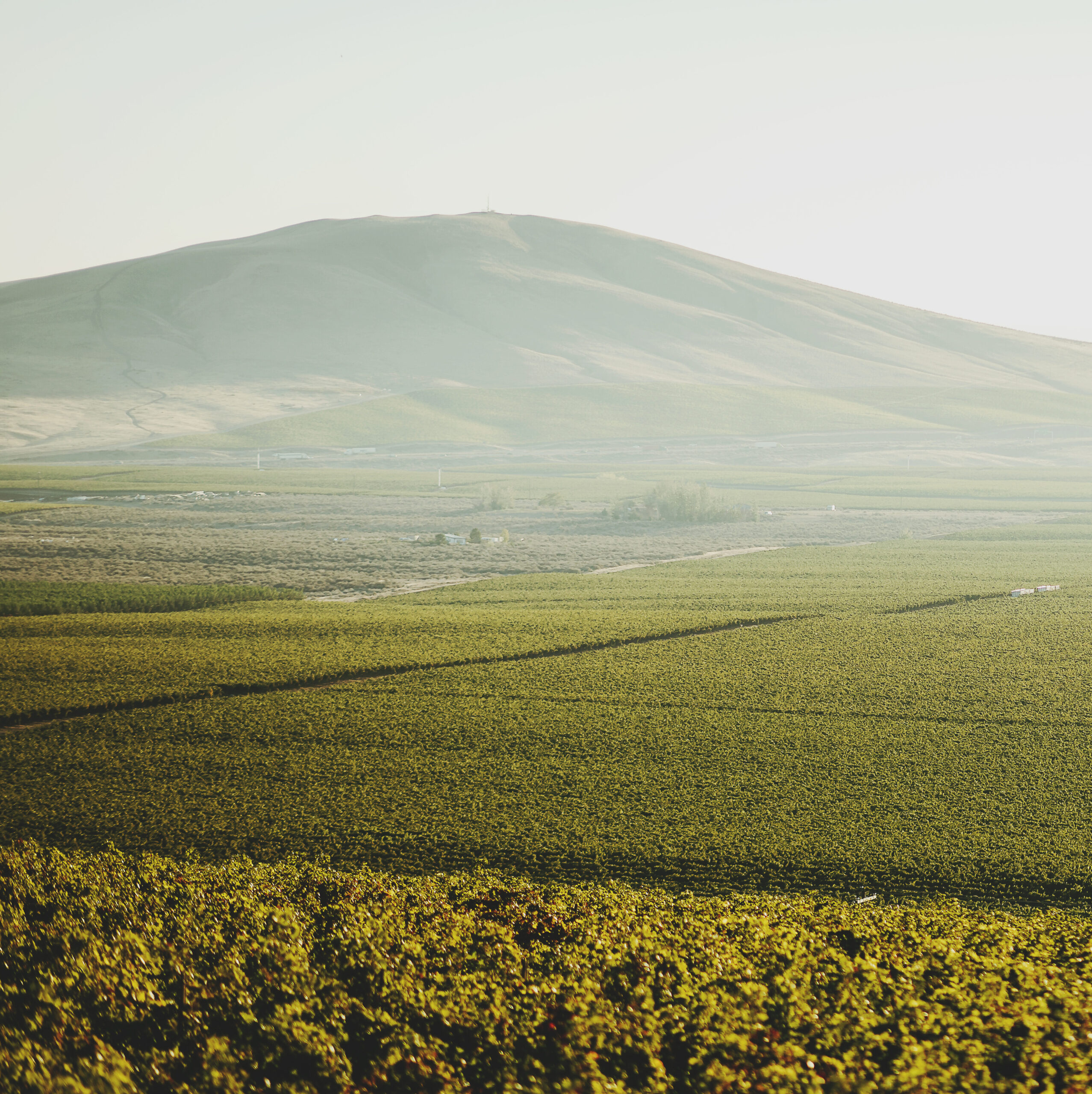 A sea of green as vineyards stretch toward a large rounded hill in the distance. The sky is hazy and green-grey.