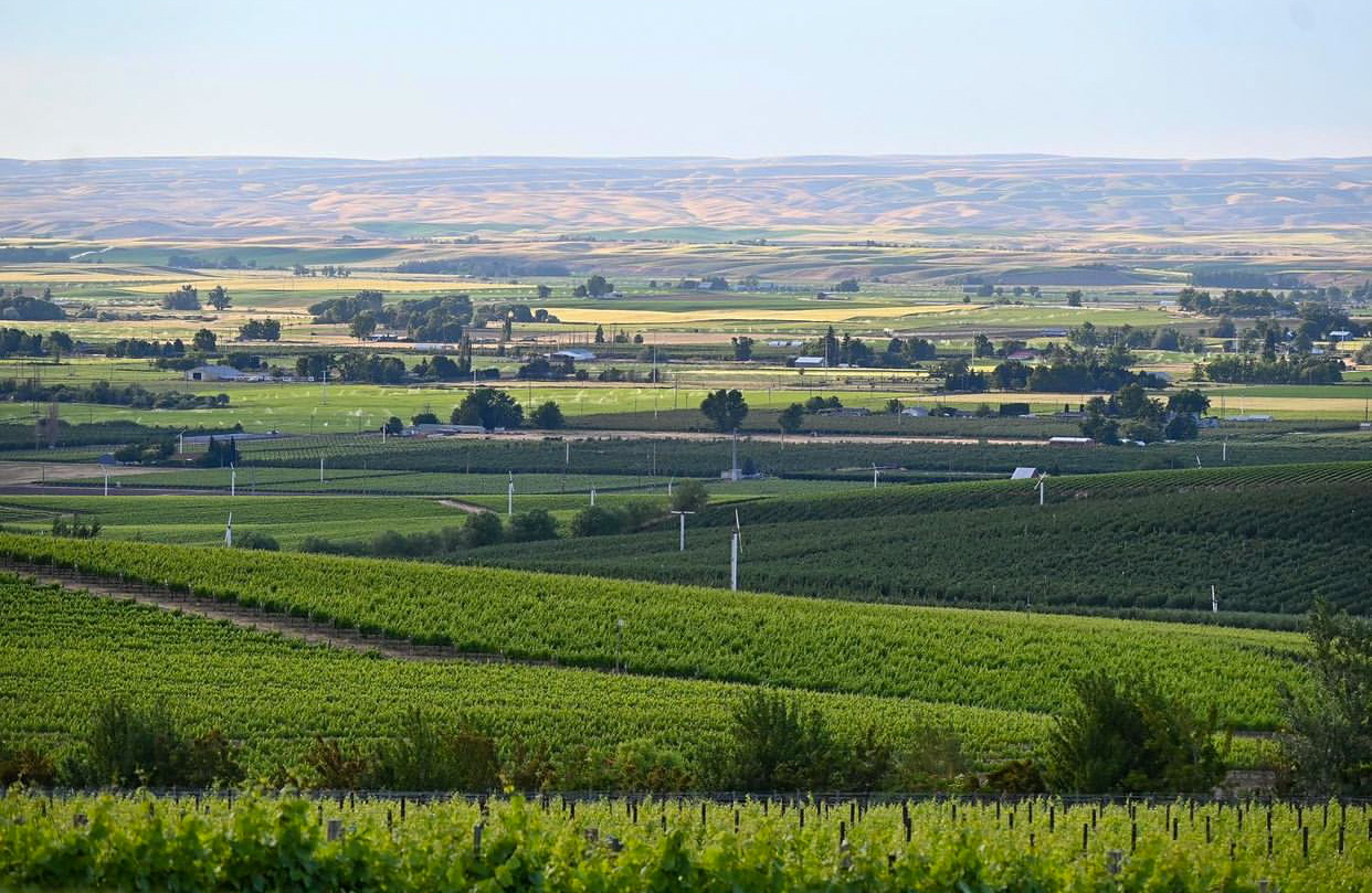 Green grape vines spread out toward tab foothills in the distance. Wind machines and small buildings dot the landscape.