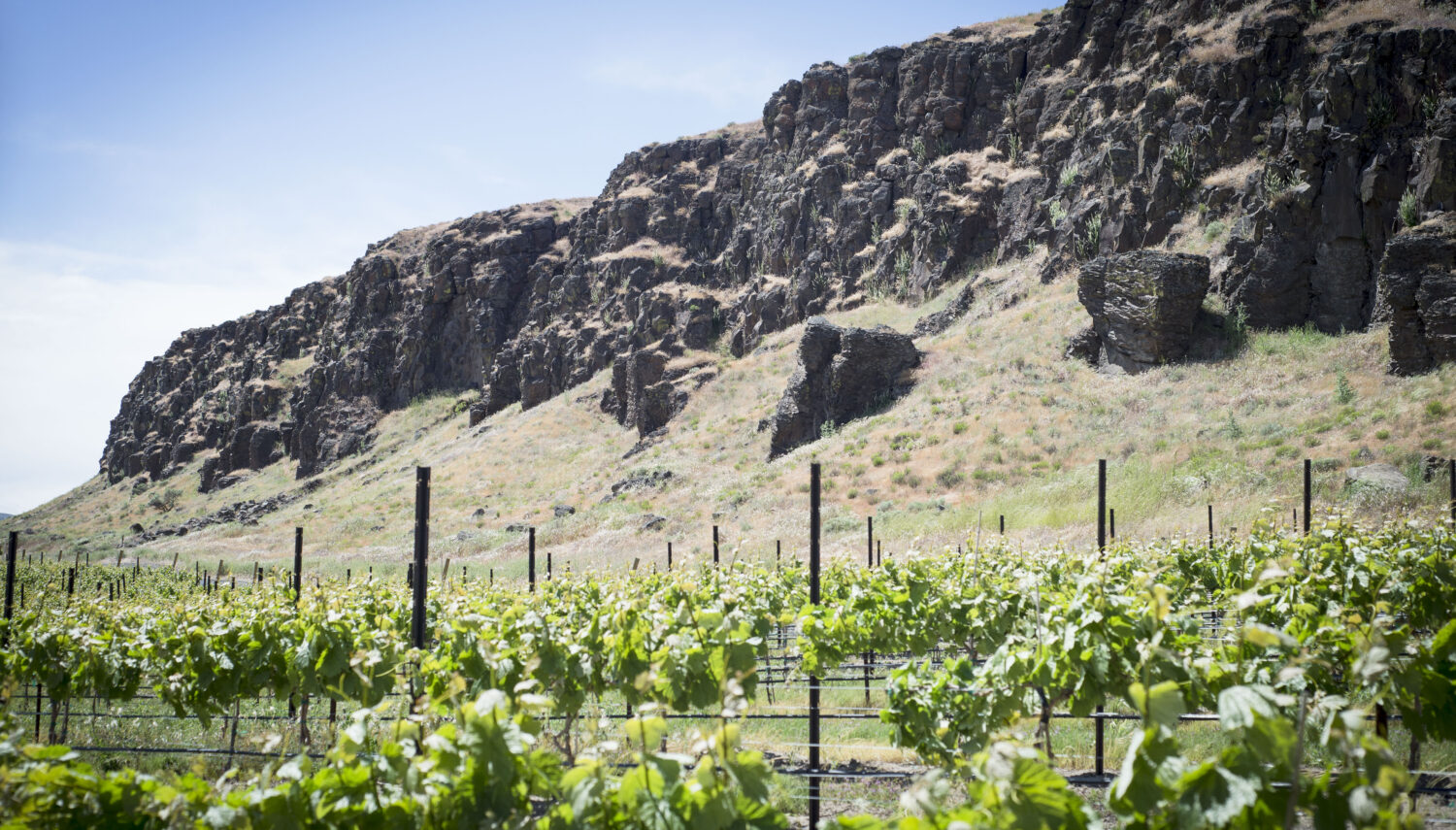 A rocky cliff hangs over several rows of green grape vines with posts under a blue sky.